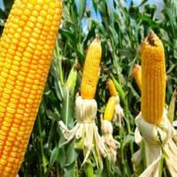 Насіння кукурудзи ДМС 3111 (МАЇС) ФАО 310