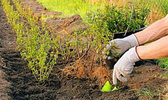 Сроки посадки смородины осенью