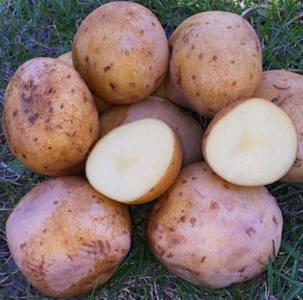 Семена картофеля 1-й репродукции Голландия (Электра)