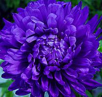 """Семена цветов Астра """"Синий магнит"""", однолетнее, 5 г, """"Хем Заден"""", Нидерланды"""