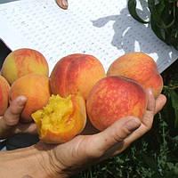 зимостойкие сорта персика