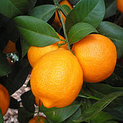 "Лайм Филиппинский ред C. aurantifolia ""Philippine Red Lime"" Комнатный"