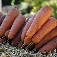 Морковь САТУРНО F1 Clause | SATYRNO 25000 шт