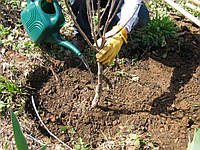 Правила посадки плодових дерев