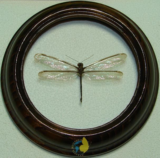 Сувенир - Стрекоза в рамке Suphalomitus formosanus. Оригинальный и неповторимый подарок!