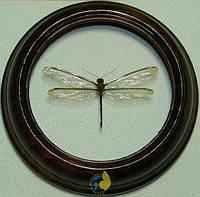 Сувенир - Стрекоза в рамке Suphalomitus formosanus. Оригинальный и неповторимый подарок!, фото 1