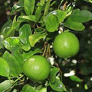 """Лайм Мексиканский (C. aurantifolia """"Messicana"""" / West Indian lime) Комнатный"""