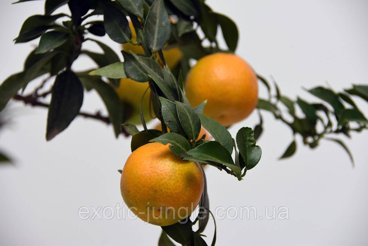 Померанец Чинотто (Citrus Myrtifolia Chinotto) 20-25 см. Комнатный