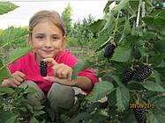 Самая ранняя ягода ежевики Карака Блек (карака элит)