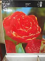 Тюльпан махровый,пионовидный, поздневесеннего срока цветения Miranda , высота 50 см, Голландия