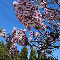 Семена павловнии - лучший способ размножения растения