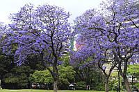 Саженцы павловнии, как способ размножения самого быстрорастущего дерева