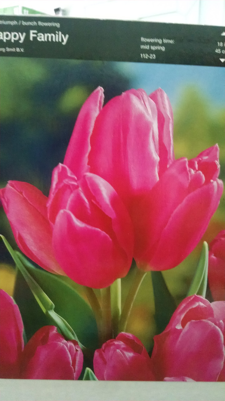 Тюльпан многоцветковый, раннневесеннего срока цветения Happy family  , высота 45см, Голландия