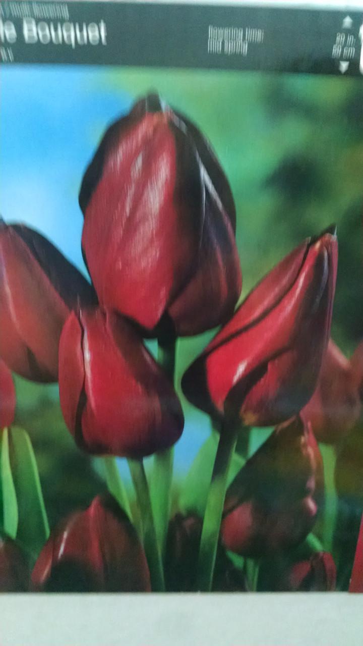Тюльпан многоцветковый, раннневесеннего срока цветения Purple bouguet , высота 50см, Голландия
