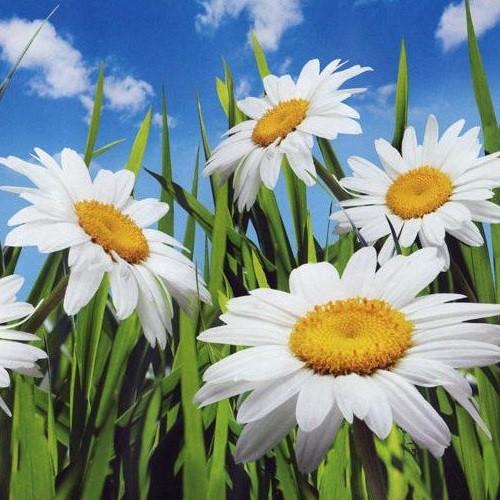 Фотообои, цветы,  Ромашки, 8 листов, размер 134х194см