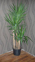 Пальма Юкка, фото 1