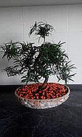 Бонсай Подокарпус (Podocarpus) 50-60см.