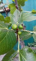 Комнатный Инжир (фиговое дерево)