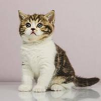 Шотландская кошечка Aziza of UlaLand, фото 1