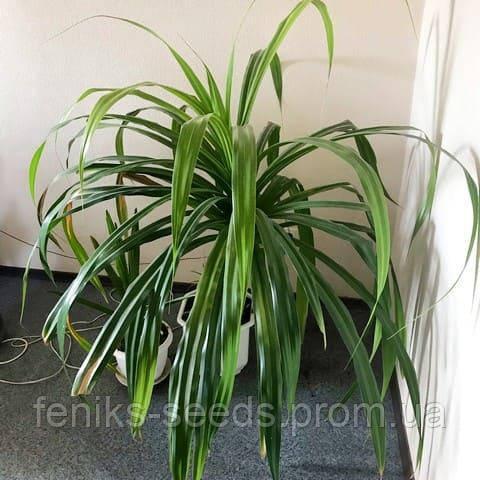 """Пальма """"Пандаус"""" – молодое растение"""