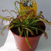 Горшечное растение Росянка Хищник