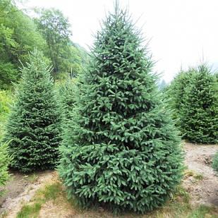 Саженцы Ели канадской, сизая, белая (Picea canadensis, glauca, alba)
