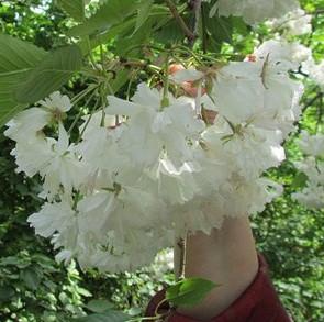 Саджанці сакури білої махрової (привита)