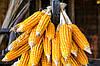 Птицеводство мира держится на кукурузе, а не на пшенице