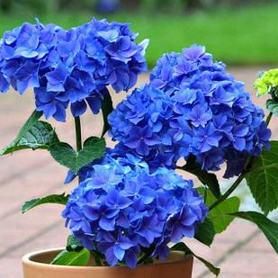Саженцы Гортензии крупнолистной Нико Блю (Hydrangea macrophylla Nikko Blue)
