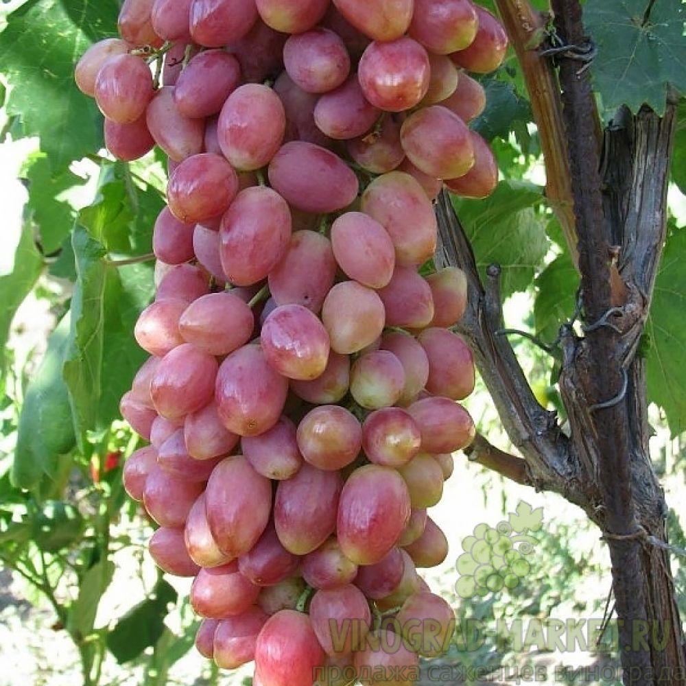 Саженцы винограда сорт Анжелика
