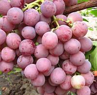 Саженцы винограда сорт Красная Роза