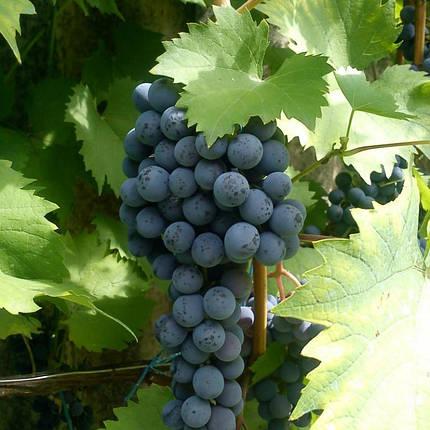 Саженцы винограда сорт Ливадийский черный, фото 2