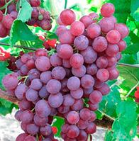 Саженцы винограда сорт Памяти учителя