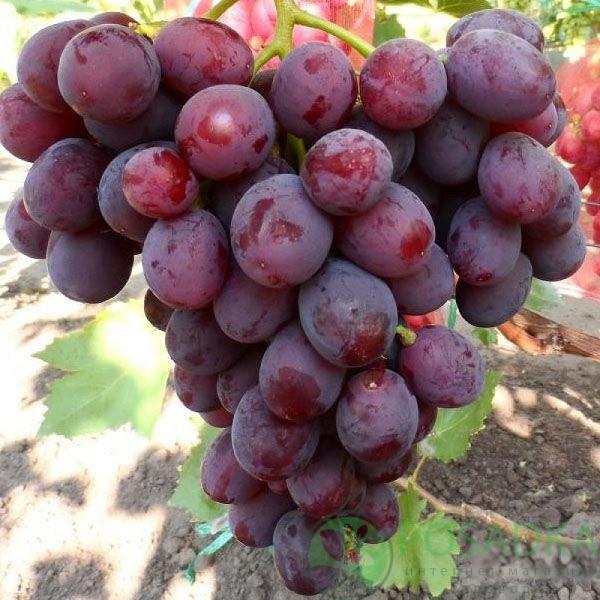 Саженцы винограда сорт Заря Несветая