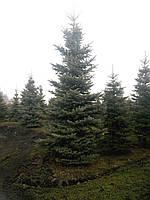 Ель голубая глаука – от 4,7 до 5,7 м. Крупномерная ёлка Glauca