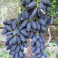 Саженцы винограда сорт Академик