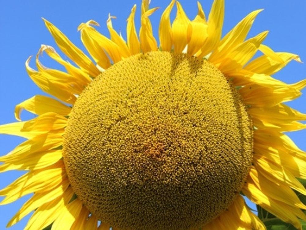 Насіння соняшника Нертус НС Фалкон стандарт
