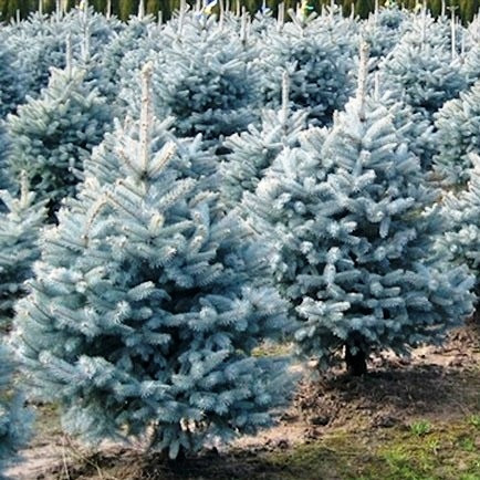 Саженцы Ели колючей голубой Маджестик Блю (Picea pungens Glauca Majestic Blue)