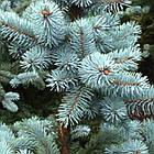 Саженцы Ели колючей голубой Маджестик Блю (Picea pungens Glauca Majestic Blue), фото 2