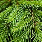Саженцы Ели обыкновенной, европейская (Picea abies, excelsa), фото 2