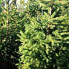 Саженцы Ели обыкновенной, европейская (Picea abies, excelsa), фото 3