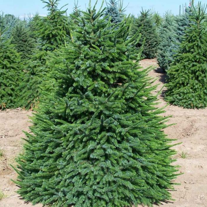 Саженцы Ели сербской (Picea omorika)