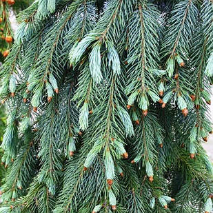 Саженцы Ели Энгельмана (Picea engelmannii)