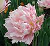 Махрово-бахромчатый тюльпан Crispion Sweet  12+ новинка