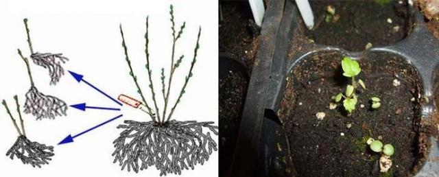 Схема выращивания лапчатки