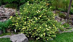 Особенности выращивания лапчатки кустарниковой