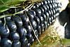 Семена Кукуруза попкорн Синий Шаман, фото 5