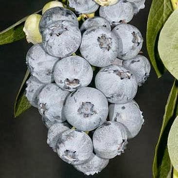 Саженцы голубики Блюголд (Bluegold) 1.5 лет в пакете 1.6 л  h-20-30 см, 1-3 побегов