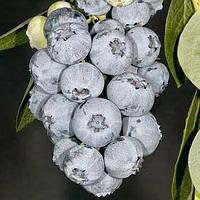 Саженцы голубики Блюголд (Bluegold) 1.5 лет в пакете 1.6 л  h-20-30 см, 1-3 побегов, фото 1