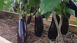 Эпик F1 семена баклажан 1000 шт Seminis Голландия, фото 4